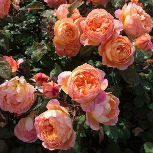 Trandafir XXL Catarator Orange