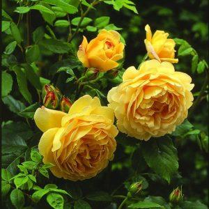 Trandafir XXL Catarator Golden Showers