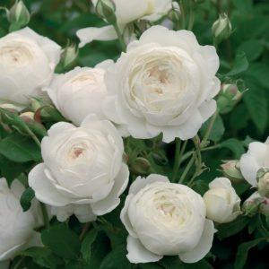 Trandafir XXL Catarator Alb Ilse Krohn Superior