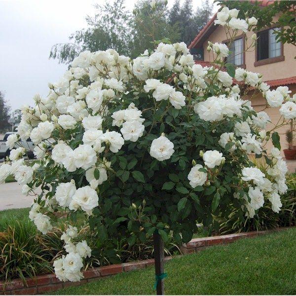 Trandafir Copacel Jaques Cartier Alb