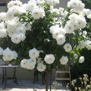 Trandafir Copacel Jaques Cartier Alb Virgo
