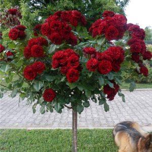 Trandafir Copacel Jaques Cartier Grena Crysler Imperial