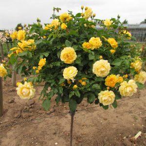 Trandafir Copacel Jaques Cartier Galben Golden Parfume