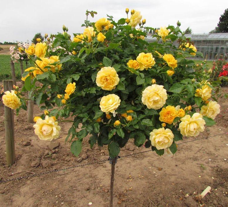 Trandafir Copacel Jaques Cartier Galben
