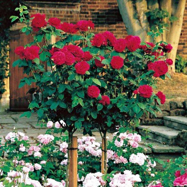 Trandafir Copacel Jaques Cartier Mister Lincoln