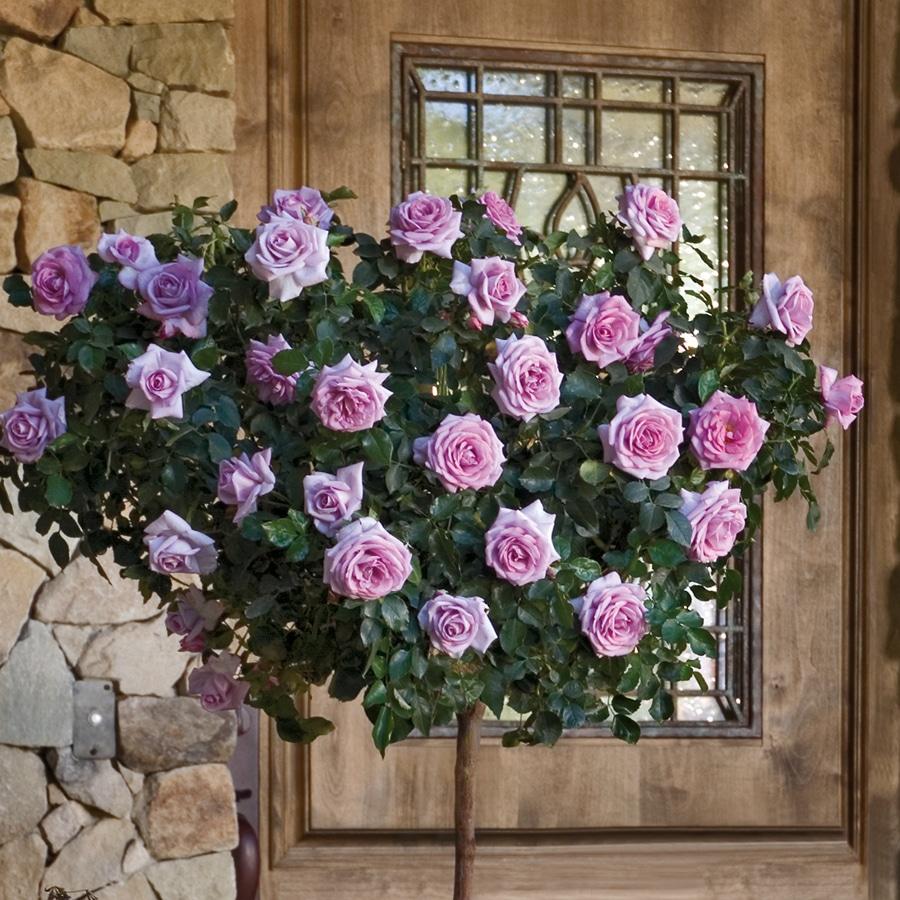 Trandafir Copacel Jaques Cartier Mov