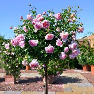 Trandafir Copacel Jaques Cartier Mov Sisi