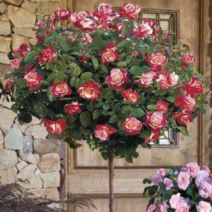 Trandafir Copacel Jaques Cartier Bicolor Double Parfume