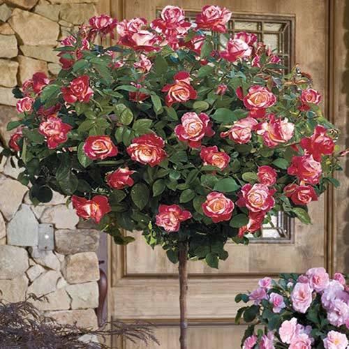 Trandafir Copacel Jaques Cartier Bicolor