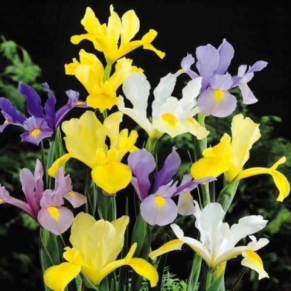 Iris Mixed Hollandica