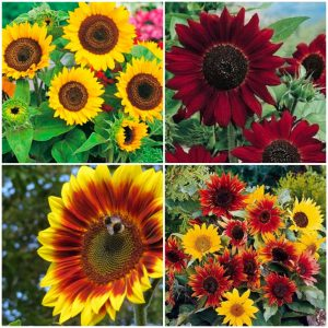 Floarea soarelui - Helianthus Annuus