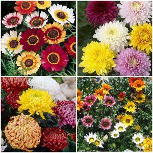 Tufanica - Chrysanthemum Carinatum