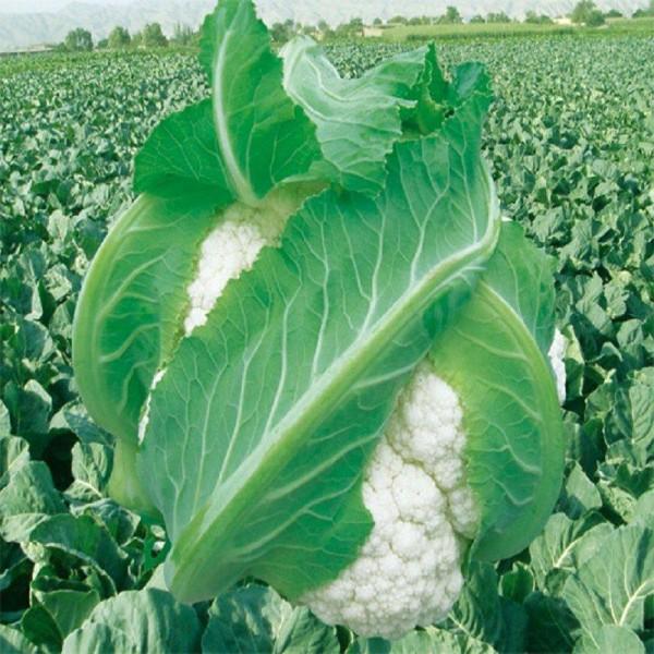 Seminte bio conopida
