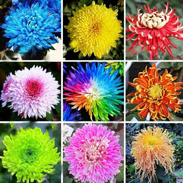 Tufanica – Chrysanthemum Carinatum