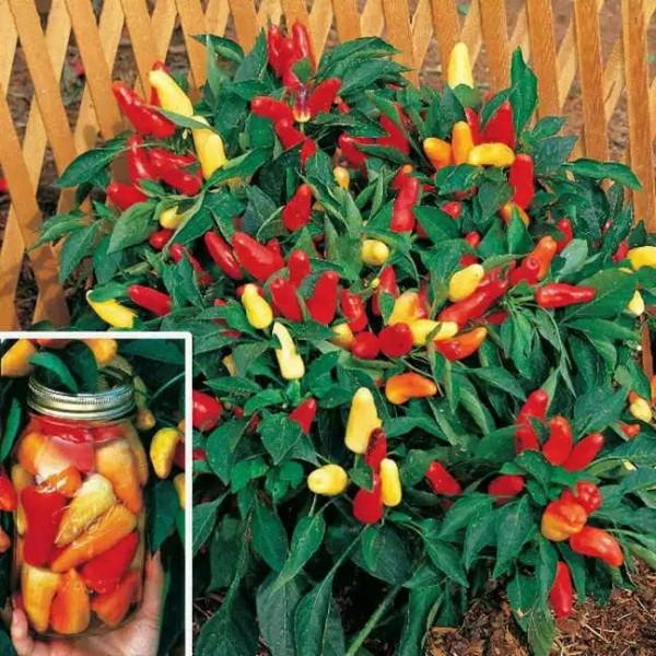 Ardei ornamental – Capsicum annuum