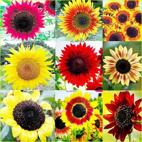 Floarea soarelui – Helianthus Annuus