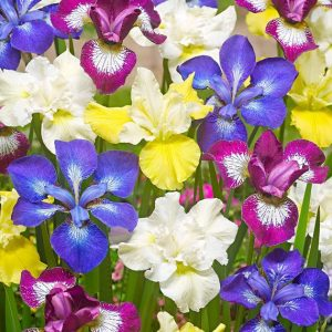 Iris Mixed Hollandica-Pachet 10 bulbi