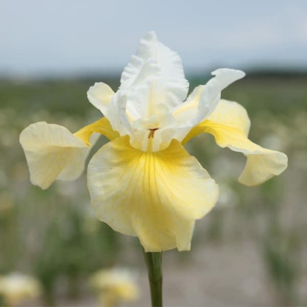Iris Summer Revels