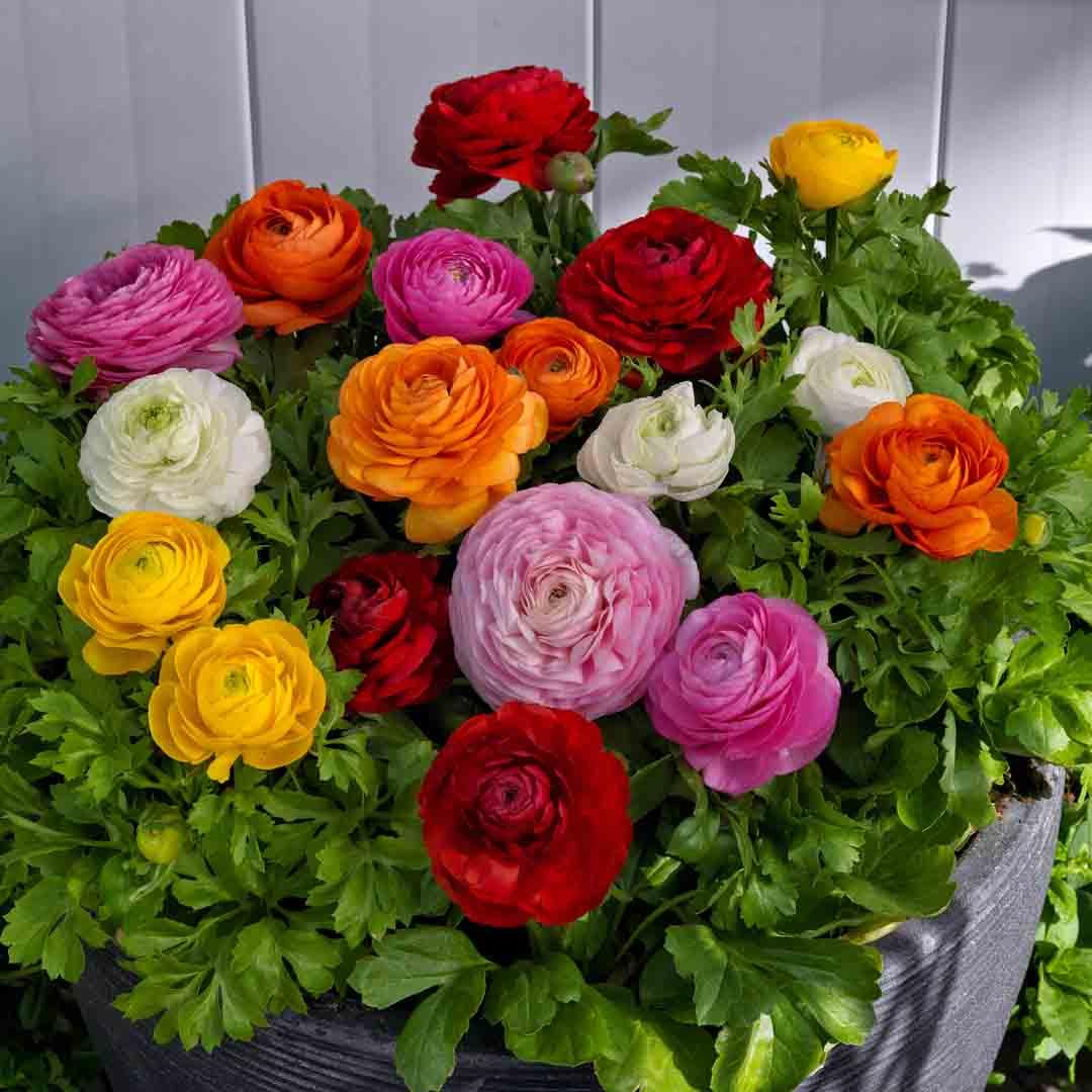 Ranunculus Mixed