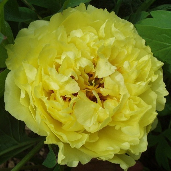 "Paeonia Yellow Crown ""EDITIE LIMITATA""!"