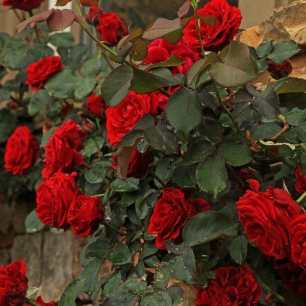 Trandafir XXL Catarator Rosu Paul's Scarlet