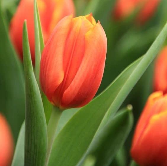 Lalele Orange Van Eijk