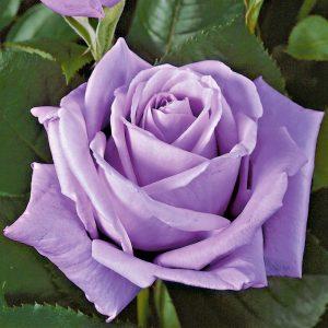 Trandafir Tufa Sissi