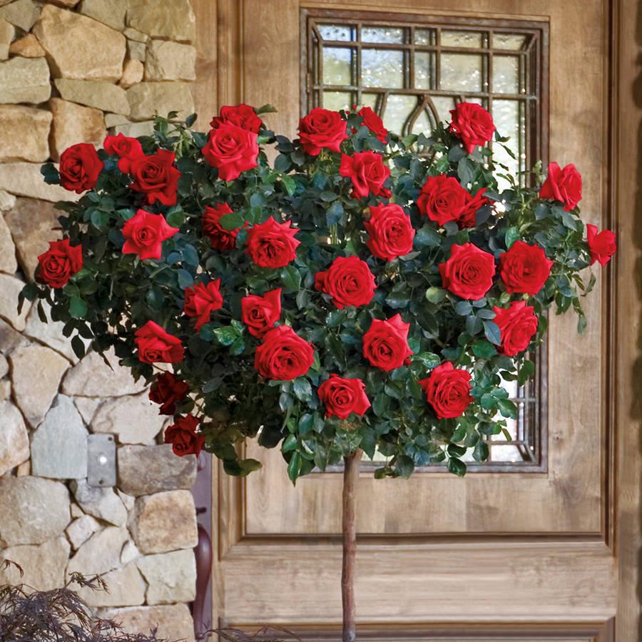 Trandafir Copacel Jaques Cartier Rosu