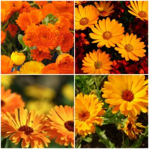 Galbenele Mix - Calendula Officinalis Mix