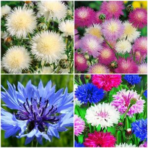 Albastrele mix - Centaurea o fiordaliso doppio in mix