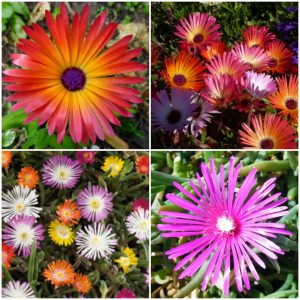 Floare De Cristal - Dorotheanthus Bellidiformis