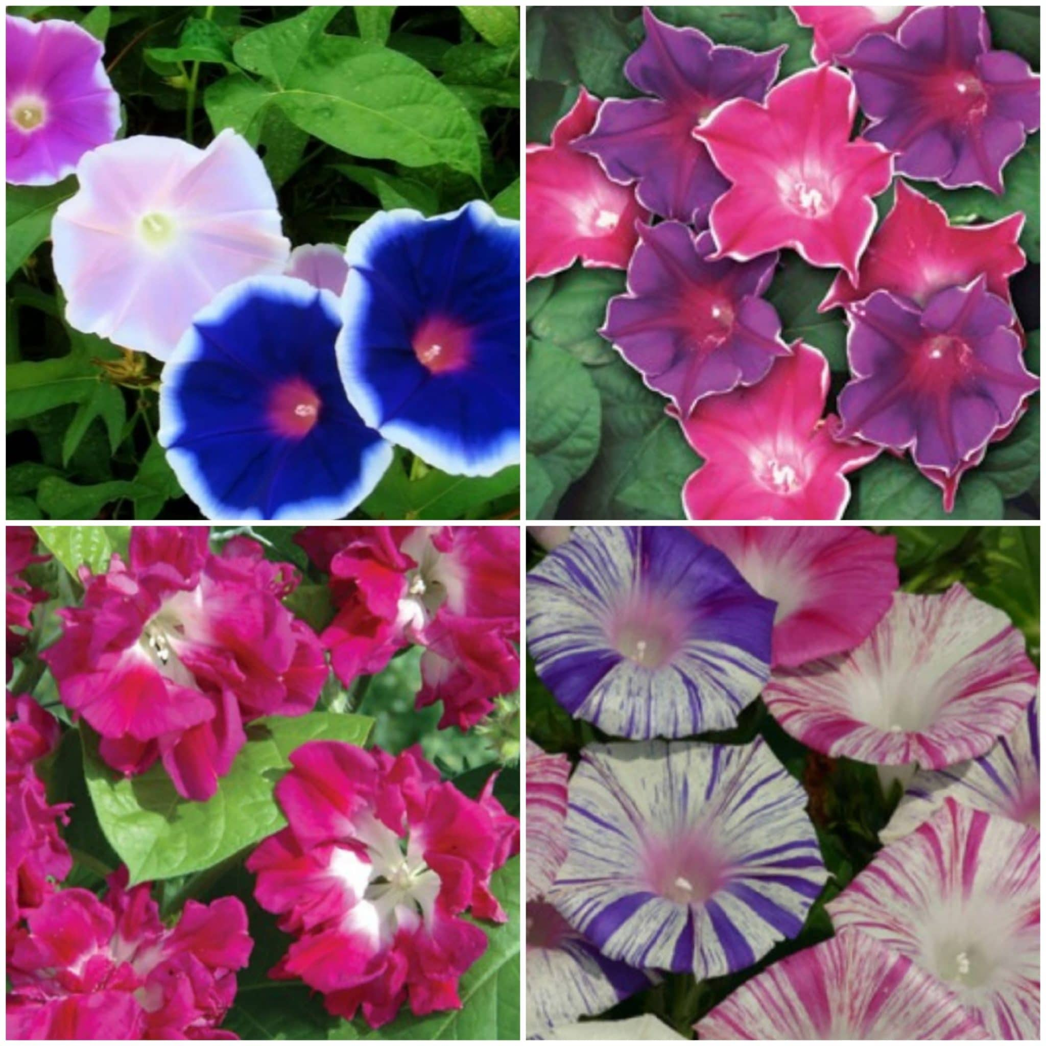 Zorele Pitice Mix – Convolvulus Tricolor Mix