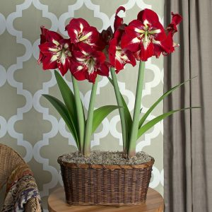 Amaryllis Minerva White-Red