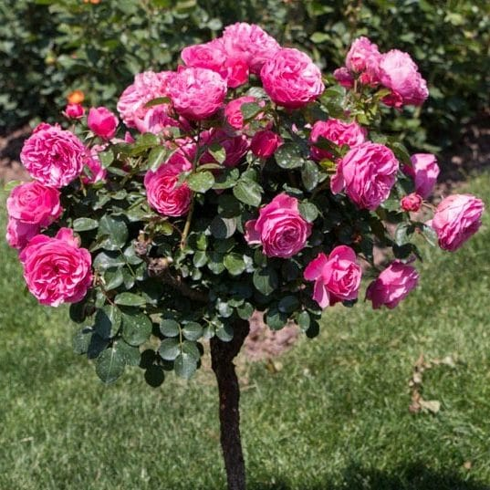 Trandafir Copacel Jaques Cartier Ciclam