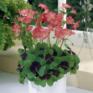 Oxalis Iron Cross-Pachet 10 bulbi