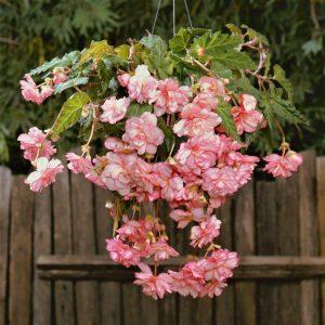 Begonia Marmotata
