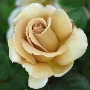 Trandafir Tufa Casanova