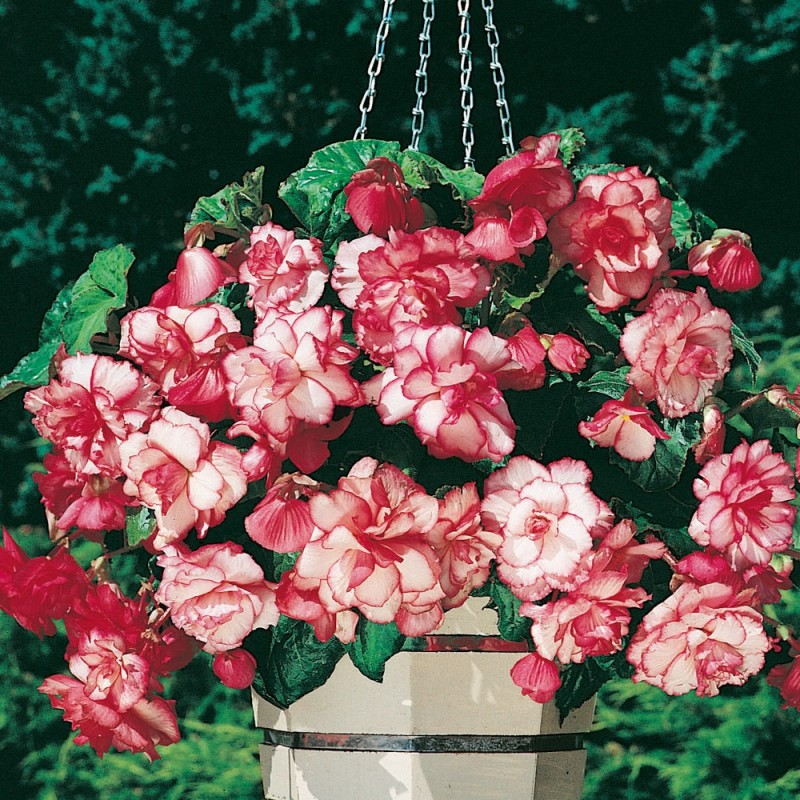 Begonia Camelia Pink
