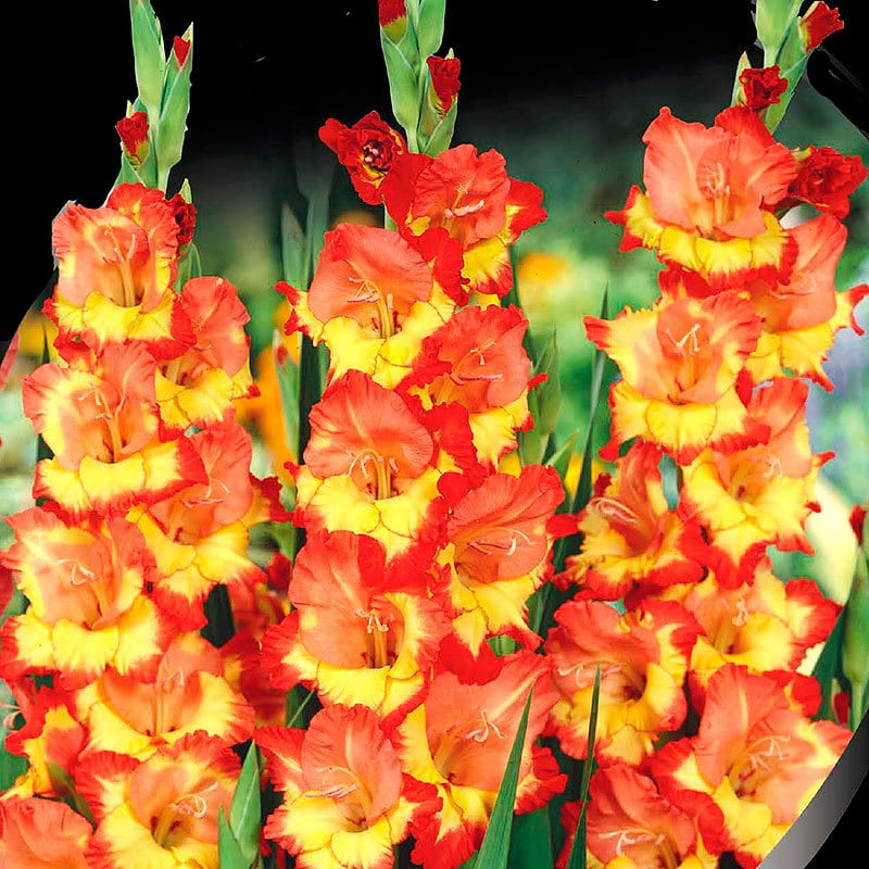 Gladiole Princess Margaret Rose