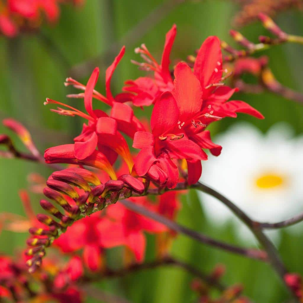Crocosmia Large Flowering