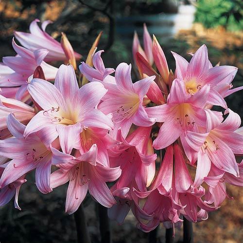 Amaryllis Belladona Pink
