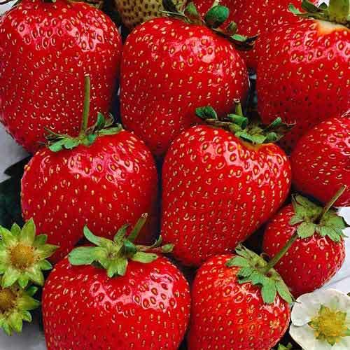 Fragaria Polka Strawberry-Capsuni