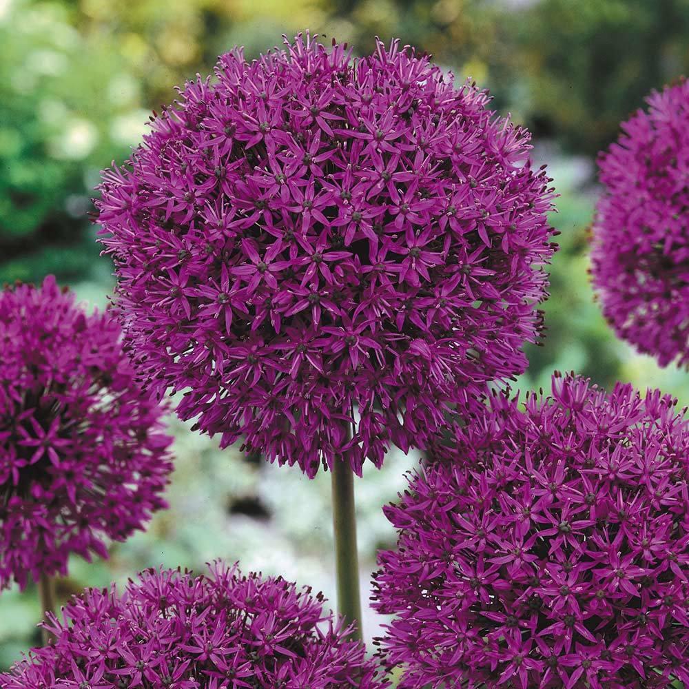 Allium Ambasador