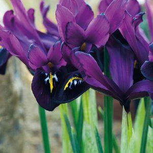Iris JS D Reticulata-Pachet 10 bulbi