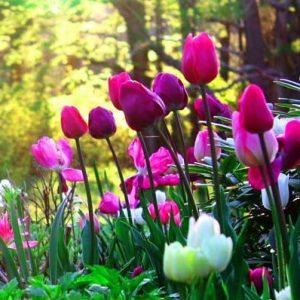 O multitudine de bulbi de flori care se planteaza incepand cu 15 Februarie!