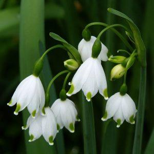 Ghiocei Galanthus Woronowii-Pachet 10 bulbi