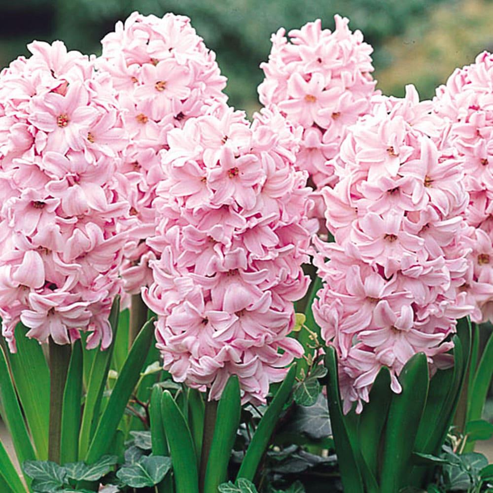 Zambile Hyacinthus Fondant