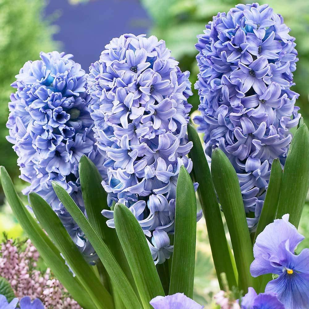 Zambile Hyacinthus Delft Blue