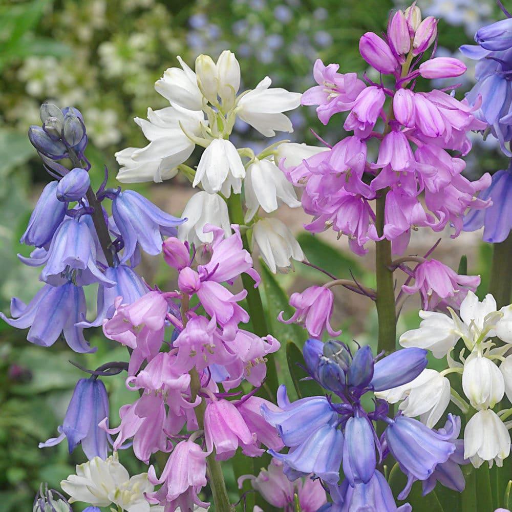 Zambile Hyacinthoides Hispanica Mixed