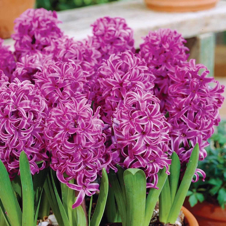 Zambile Hyacinthus Minos